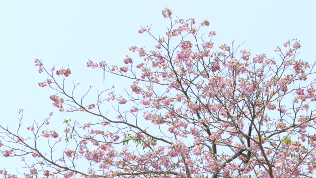 Pink flowers Tabebuia rosea blossom video