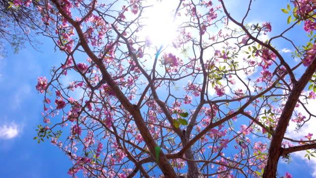 pink flowers tabebuia rosea blossom - disordine affettivo stagionale video stock e b–roll