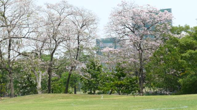 fiori rosa fiori tabebuia rosea fiore con sfondo torre - disordine affettivo stagionale video stock e b–roll