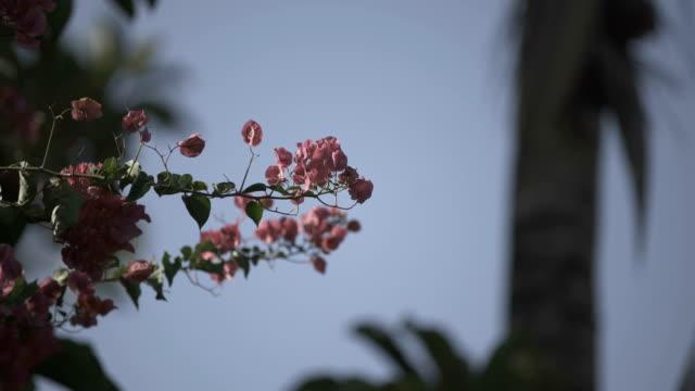 Flores cor-de-rosa  - vídeo
