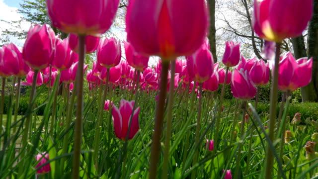 ピンクの花が風の風に手を振る - キューケンホフ公園点の映像素材/bロール