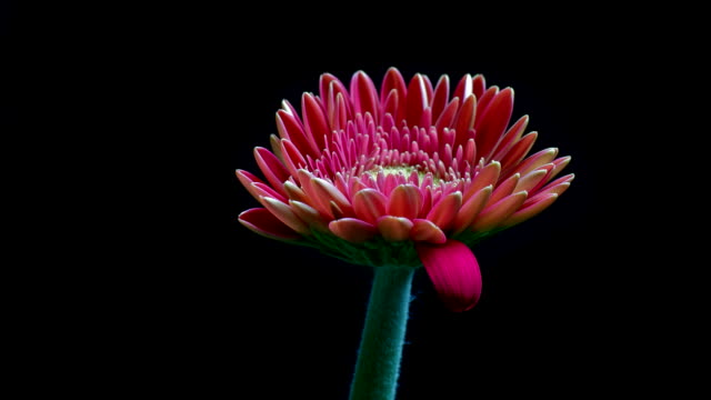 Pink gerbera daisy flower - timelapse HD video