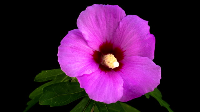 Pink Hibiscus Flower Blooming video