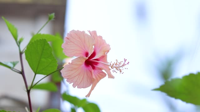 Pink hibiscus flower with leaves stock footoge.