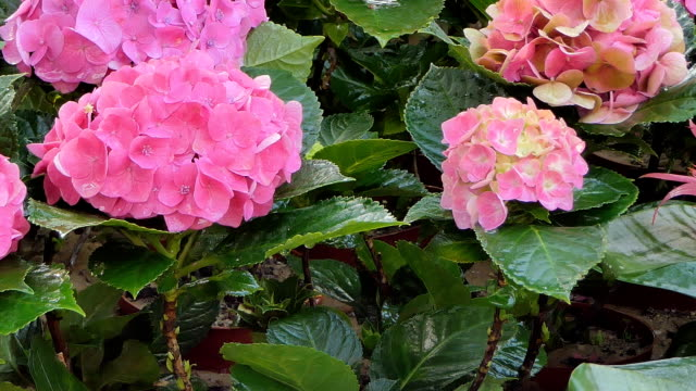 rosa hortensie blüte blumenfeld. - hortensie stock-videos und b-roll-filmmaterial