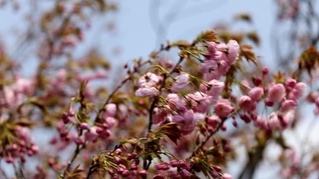 Pink Japanese Sakura on tree branch with halo soft blur effect video