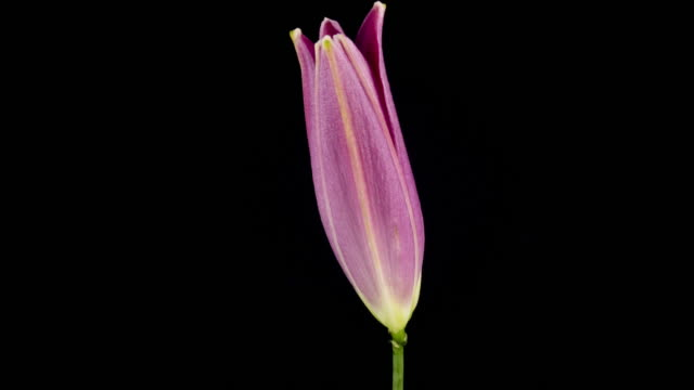 Pink Lily Blooming video