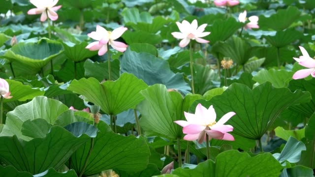 pink lotus and leaves in the win video