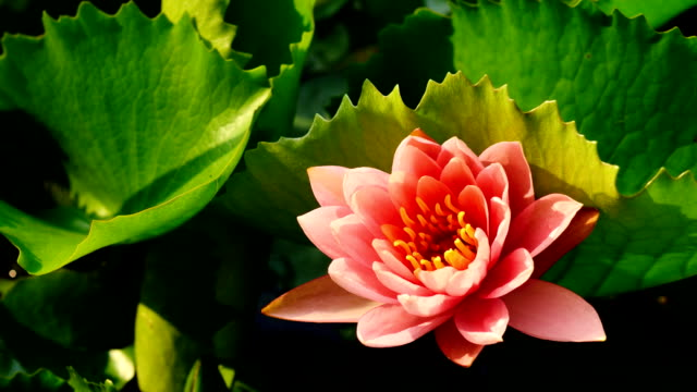 Pink lotus blooming in Timelapse video