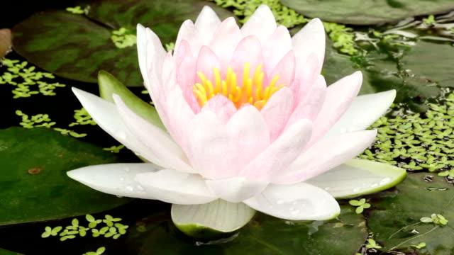 Pink Lotus booming