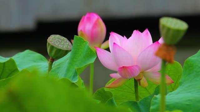 vídeos de stock, filmes e b-roll de uma flor de lótus cor-de-rosa e um botão dos lótus em uma lagoa. flor de lótus e lótus cor-de-rosa. - lotus