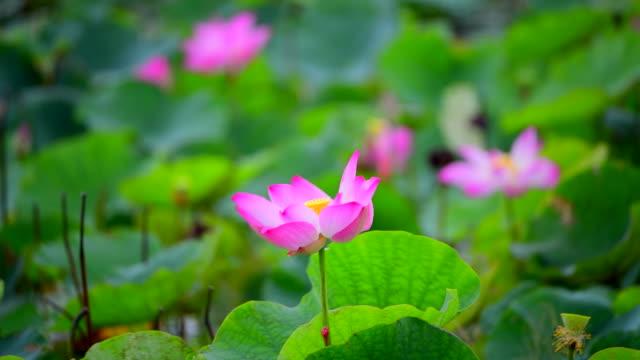 vídeos de stock, filmes e b-roll de rosa flor de lótus em um lago - lotus