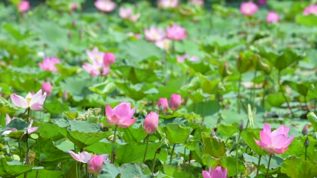 Pink lotus in the pond video