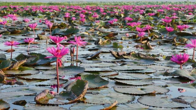 rosa lotus lake, udon thani province, tha. - lotusställning bildbanksvideor och videomaterial från bakom kulisserna