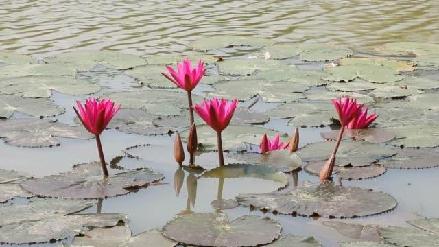 Pink lotus pool