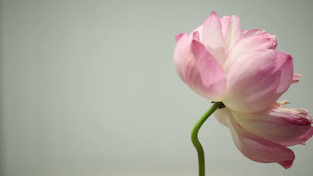 Pink lotus rotates isolated on a gray background Pink lotus rotates isolated on a gray background padding stock videos & royalty-free footage