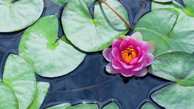 池のピンクの蓮のスイレンの花 - 清らか点の映像素材/bロール