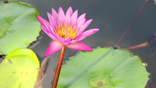 pink lotus water lily in pond with green leaf float on water video