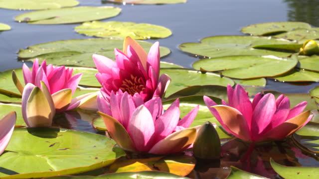 ピンクの蓮と黄色のスイレンは、湖、池、水の波の中で揺れます。太陽の光が水に反射する。 - 清らか点の映像素材/bロール