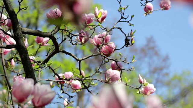 pink magnolia blossoms video
