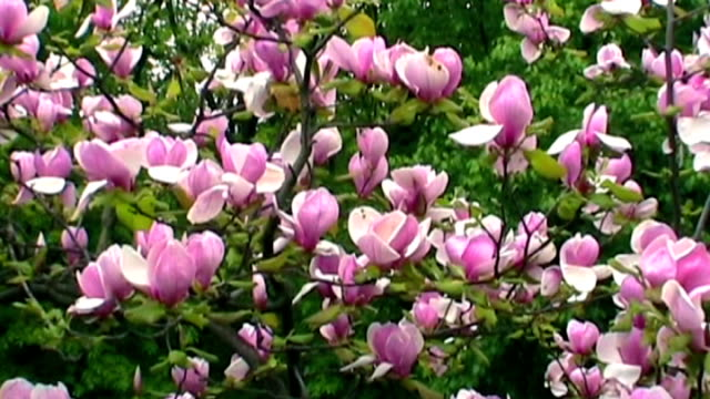 Pink magnolia video