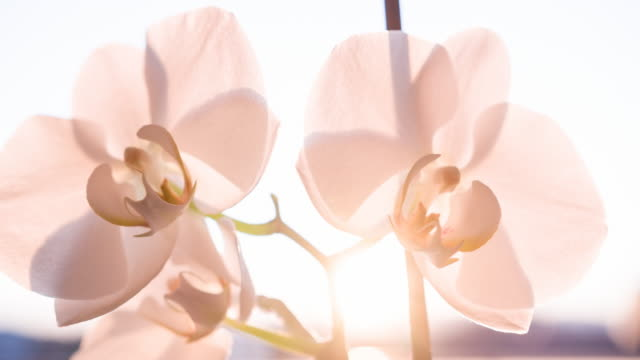 Pink orchid blossoms, brightly lit video