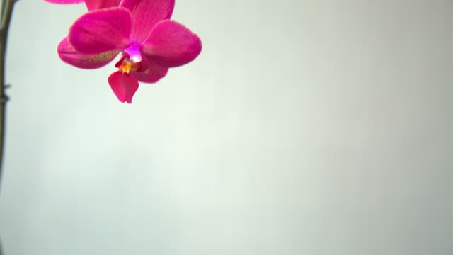 pink Orchid on a light background