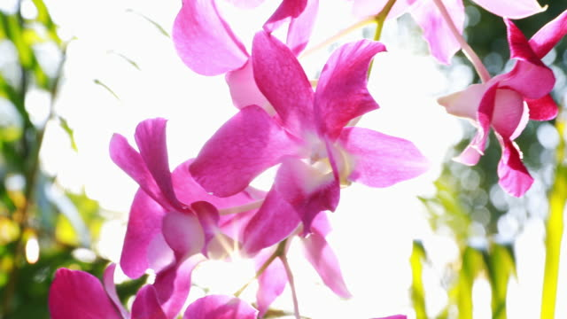 pink orchids flower