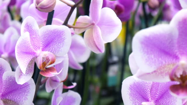 rosa orchideen - orchidee stock-videos und b-roll-filmmaterial