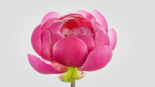 Pink Peony Blooming video