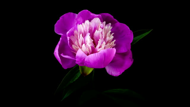 Pink peony flower blooming timelapse video