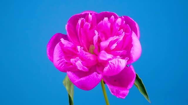 Pink Peony Flower Blooming