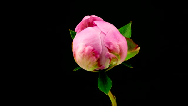 Pink Peony Time Lapse video