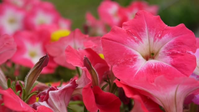 Pink petunias swaying in the breeze video