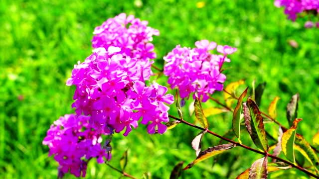 phlox rosa fiori bush con erba verde sfondo - pistillo video stock e b–roll