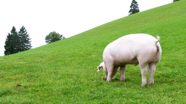 ピンクのブタが歩くし、オーストリアの山の緑の牧草地の根を食べる - ブタ点の映像素材/bロール