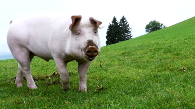 Pink Pig Walks and Eats Roots on a Green Meadow in the Mountains of Austria Pink Pig walks and eats roots on a green meadow in the mountains of Austria. Slow Motion in 96 fps. Close-up. Pig on the beautiful manicured lawns on a hill. pork stock videos & royalty-free footage