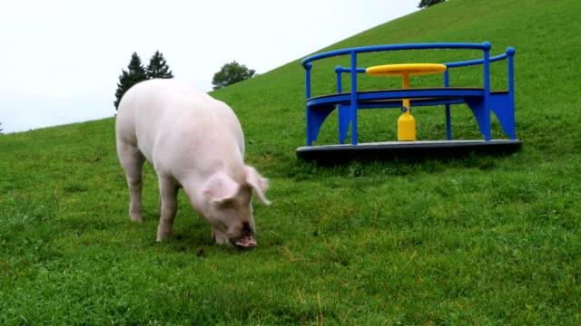 ピンクのブタを歩くと緑の牧草地に根を食べるに近い山の遊び場 - ブタ点の映像素材/bロール