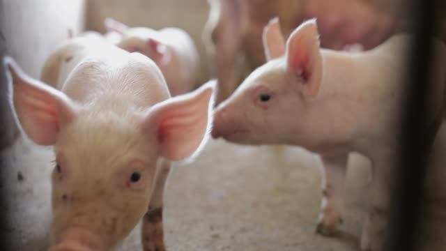 stockvideo's en b-roll-footage met pink biggen in pig farm, xi'an, shaanxi, china - pig farm