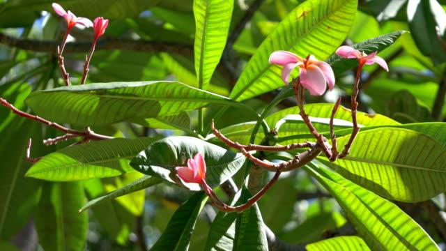 Pink plumeria in Hawaii in 4k slow motion 60fps