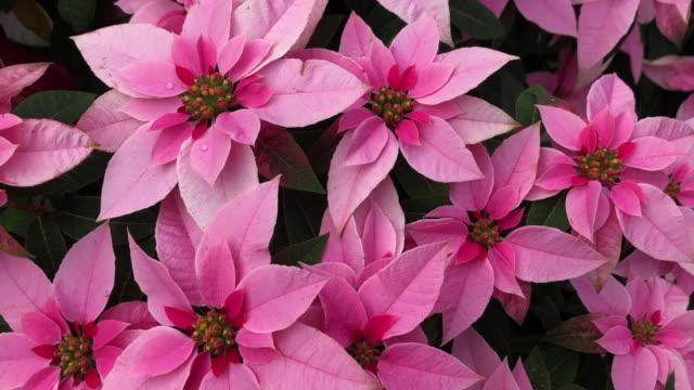 vidéos et rushes de fleurs roses de poinsettia sur un bush - image teintée