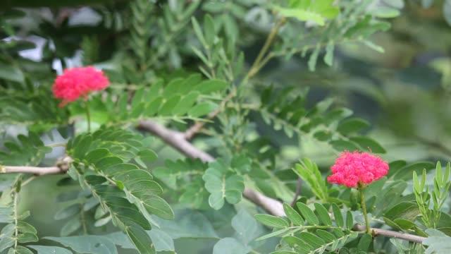 vídeos de stock e filmes b-roll de pink powder puff flower - calliandra haematocephala