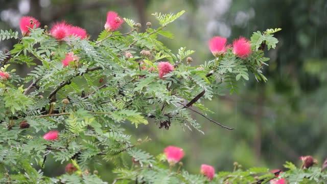 vídeos de stock e filmes b-roll de pink powder puff flower with rain - calliandra haematocephala