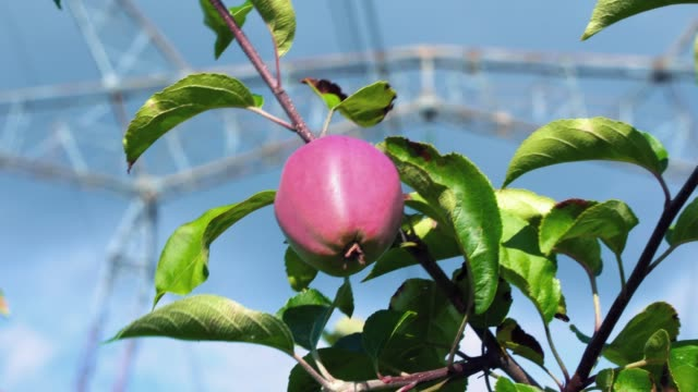 Pink ripe apple