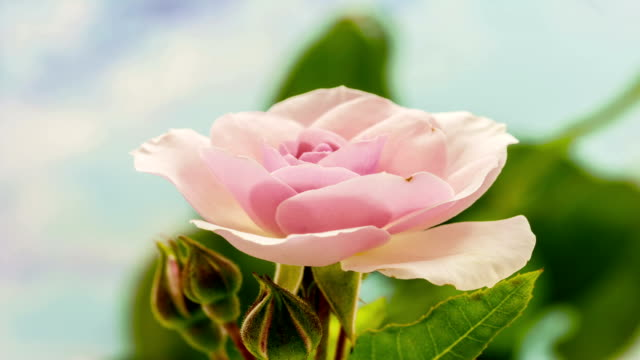 vídeos de stock e filmes b-roll de pink rose flower growing timelapse - rosa flor