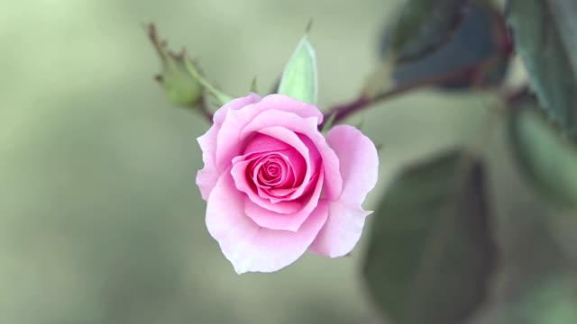 pink rose flower video