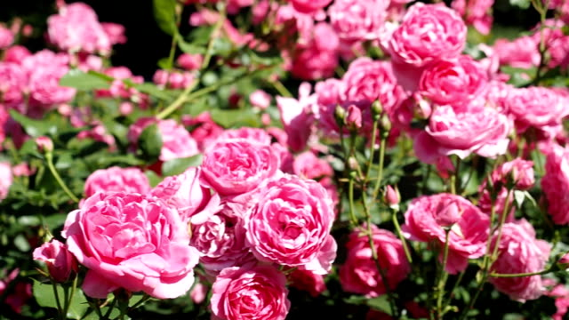 rosa ros blommor i trädgården - ros bildbanksvideor och videomaterial från bakom kulisserna