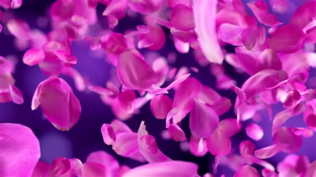 petali rosa rosa che cadono sfondo loopable in 4k - petalo video stock e b–roll