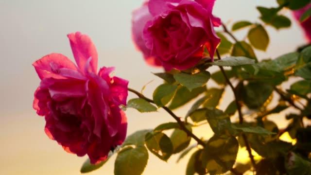 夕暮れの風に揺れるピンクのバラ ビデオ