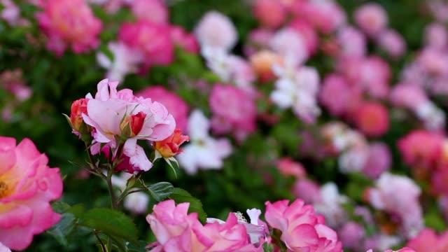pink roses in garden - куст стоковые видео и кадры b-roll